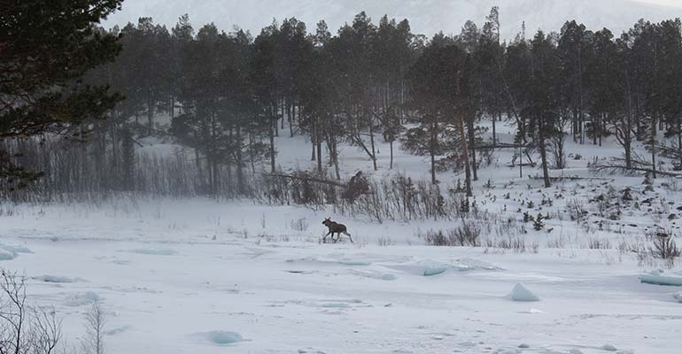 wildlife in Lapland